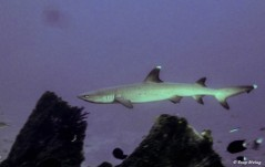3plongee-komodo-requin-recif-min