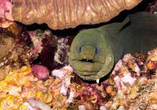 photo-plongee-roatan-murene-moray