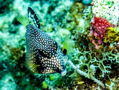 photo-plongee-utila-trunkfish