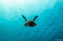 photo-plongee-roatan-tortue-verte-green-turtle