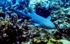 photo3-plongee-utila-requin-2
