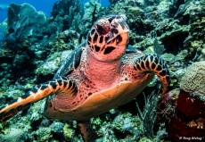 photo-plongee-roatan-tortue-turtle