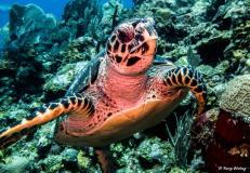 photo-plongee-roatan-tortue-turtle