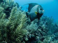 photo7-plongee-utila-poisson-ange
