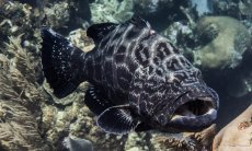 photo-plongee-roatan-merou-black-grouper