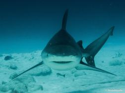 photo-requin-bouledogue-playa-del-carmen