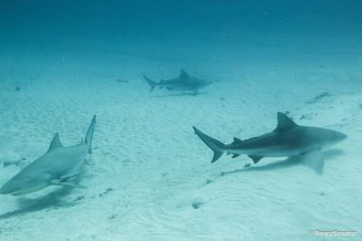 photo-requin-bouledogue-playa-del-carmen