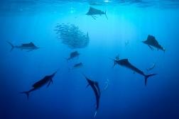 plongee-playa-del-carmen-sailfish-run-espadon