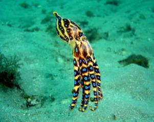 plongee-malapascua-pieuvre-aux-anneaux-bleus-blue-ring-octopu
