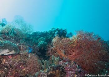 26 Reef malapascua - kalaggaman seafan-min