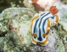 plongee-malapascua-nudibranhe