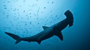 requin-marteau-malapascua-philippines