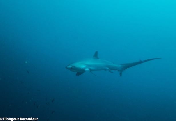 requin-renard-malapascua-1-min