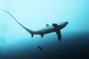 requin-renard-malapascua-4
