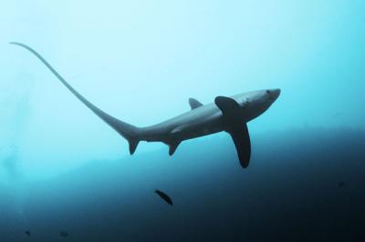requin-renard-malapascua-monad-shoal