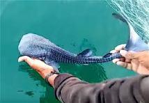 bebe-requin-baleine