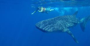 whale-shark-snorkeling-min