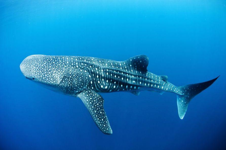 requin-baleine-donsol-philippines