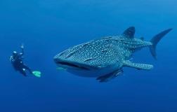 whale-shark2