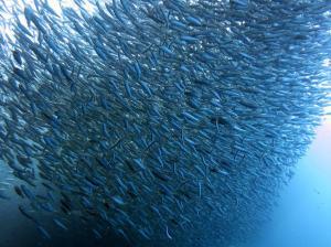 banc-de-sardines-napaline-panglao-bohol-min