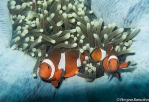 Clownfish - False-min