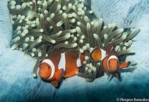 poisson-clown-balicasag-panglao-bohol-philippines