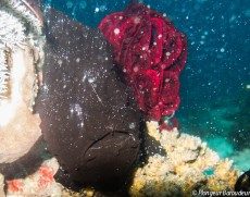 Frogfish - giant black-min