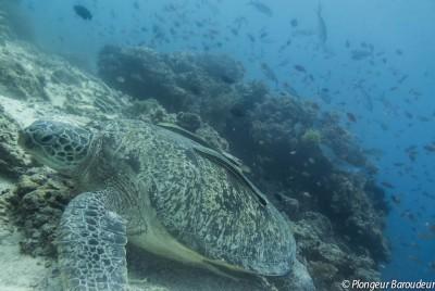 tortue-balicasag-panglao-bohol-philippines