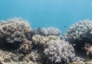 Reef Apo 3