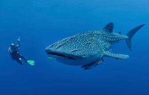 requin-baleine-isla-del-coco-min