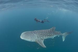 requin-baleine-madagascar-min