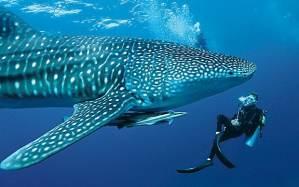 requin-baleine-maldives-min