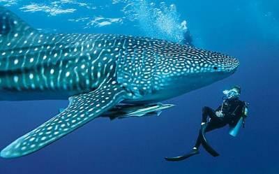 requin-baleine-maldives