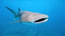 requin-baleine-mexique-la-paz