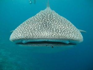 requin-baleine-mozambique-min