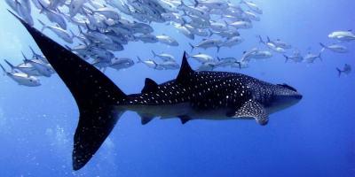 requin-baleine-thailande-richelieu-rock-min