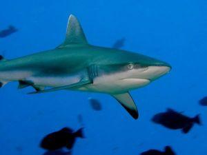 sipadan requin gris