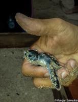 sangalaki turtle 1-min