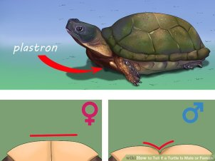 male-female-turtle-plastron