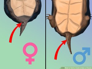 male-female-turtle-queue.jpg