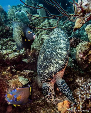 Turtle - Hawksbill & Angelfish x 2-min
