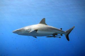 grey-reef-shark-min