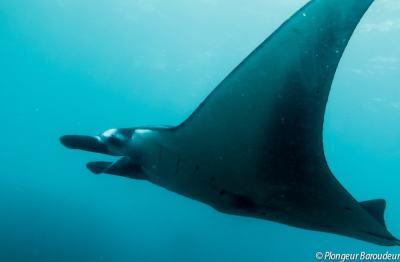 raie-manta-ray-lembongan-bali