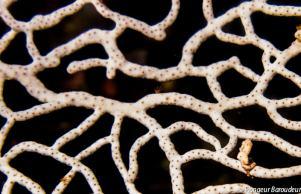 Seahorse pygmy on seafan-min