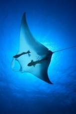 manta ray above blue
