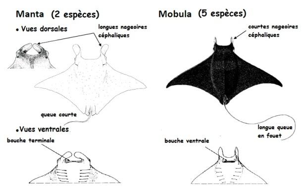 mobula-vs-manta