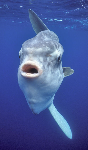 10 Infos Essentielles Sur Les Mola Molas Plongeur Baroudeur