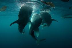 requin-baleine-indonesie-cenderawasih-min