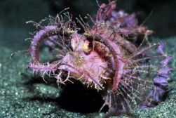 top-indonesie-ambon-scorpionfish
