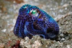 top-indonesie-wakatobi-cuttlefish-spotted
